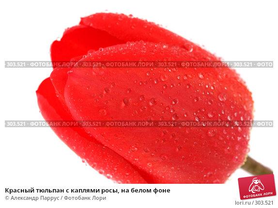 Красный тюльпан с каплями росы, на белом фоне, фото № 303521, снято 21 апреля 2008 г. (c) Александр Паррус / Фотобанк Лори