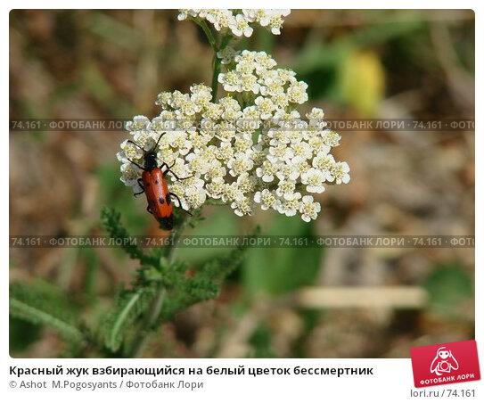 Купить «Красный жук взбирающийся на белый цветок бессмертник», фото № 74161, снято 1 июля 2007 г. (c) Ashot  M.Pogosyants / Фотобанк Лори