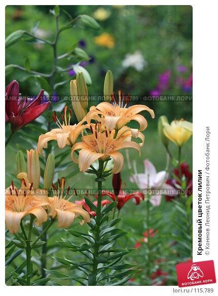 Кремовый цветок лилии, фото № 115789, снято 15 июля 2007 г. (c) Коннов Леонид Петрович / Фотобанк Лори