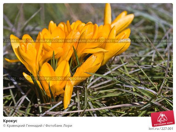 Крокус, фото № 227001, снято 8 апреля 2005 г. (c) Кравецкий Геннадий / Фотобанк Лори