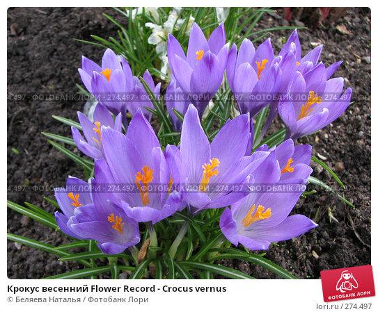 Крокус весенний Flower Record - Crocus vernus, фото № 274497, снято 12 мая 2007 г. (c) Беляева Наталья / Фотобанк Лори