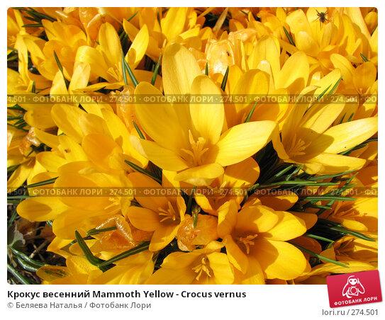 Купить «Крокус весенний Mammoth Yellow - Crocus vernus», фото № 274501, снято 12 мая 2007 г. (c) Беляева Наталья / Фотобанк Лори
