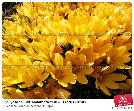 Крокус весенний Mammoth Yellow - Crocus vernus, фото № 274505, снято 12 мая 2007 г. (c) Беляева Наталья / Фотобанк Лори