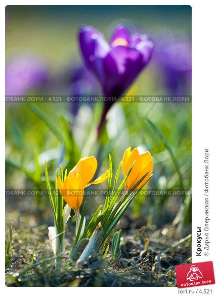 Крокусы, фото № 4521, снято 11 апреля 2006 г. (c) Дарья Олеринская / Фотобанк Лори