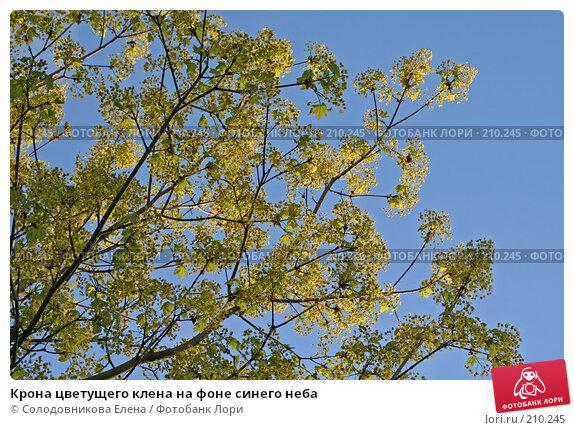 Купить «Крона цветущего клена на фоне синего неба», фото № 210245, снято 13 мая 2007 г. (c) Солодовникова Елена / Фотобанк Лори