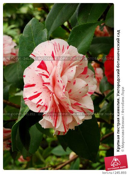 Купить «Крупная пестрая камелия. Ужгородский ботанический сад», фото № 245893, снято 18 марта 2008 г. (c) Мирослава Безман / Фотобанк Лори