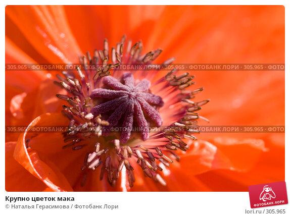 Крупно цветок мака, фото № 305965, снято 30 мая 2008 г. (c) Наталья Герасимова / Фотобанк Лори