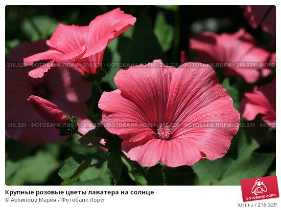 Крупные розовые цветы лаватера на солнце, фото № 216329, снято 16 июля 2007 г. (c) Архипова Мария / Фотобанк Лори