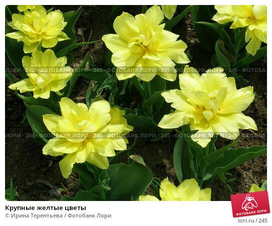 Крупные желтые цветы, эксклюзивное фото № 245, снято 11 мая 2004 г. (c) Ирина Терентьева / Фотобанк Лори