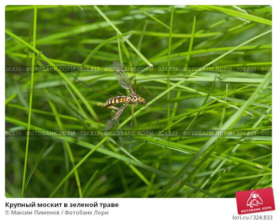Крупный москит в зеленой траве, фото № 324833, снято 10 июня 2006 г. (c) Максим Пименов / Фотобанк Лори