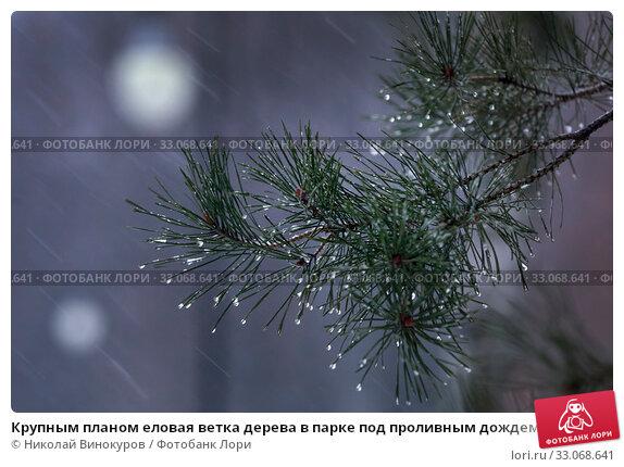 Купить «Крупным планом еловая ветка дерева в парке под проливным дождем со снегом в городе Москве, Россия», фото № 33068641, снято 2 февраля 2020 г. (c) Николай Винокуров / Фотобанк Лори
