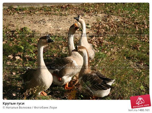 Купить «Крутые гуси», фото № 480161, снято 24 сентября 2008 г. (c) Наталья Волкова / Фотобанк Лори