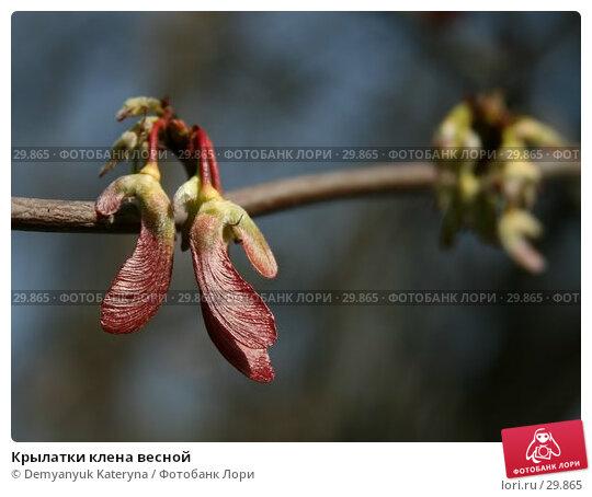 Купить «Крылатки клена весной», фото № 29865, снято 2 апреля 2007 г. (c) Demyanyuk Kateryna / Фотобанк Лори