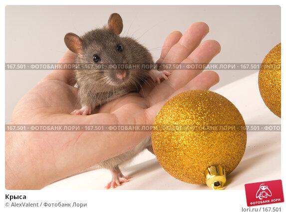 Крыса, фото № 167501, снято 27 ноября 2007 г. (c) AlexValent / Фотобанк Лори