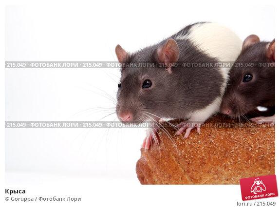 Крыса, фото № 215049, снято 19 октября 2007 г. (c) Goruppa / Фотобанк Лори