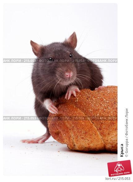 Крыса, фото № 215053, снято 19 октября 2007 г. (c) Goruppa / Фотобанк Лори