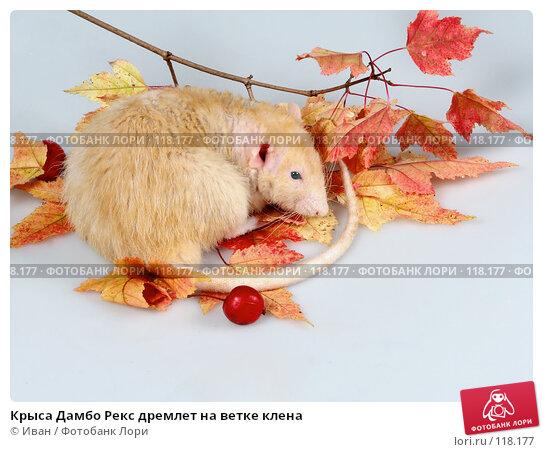 Крыса Дамбо Рекс дремлет на ветке клена, фото № 118177, снято 23 сентября 2007 г. (c) Иван / Фотобанк Лори
