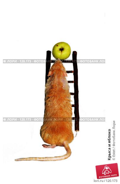 Крыса и яблоко, фото № 120173, снято 22 мая 2017 г. (c) Estet / Фотобанк Лори