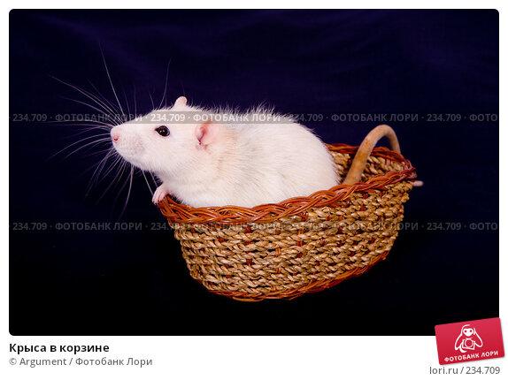 Крыса в корзине, фото № 234709, снято 21 марта 2008 г. (c) Argument / Фотобанк Лори
