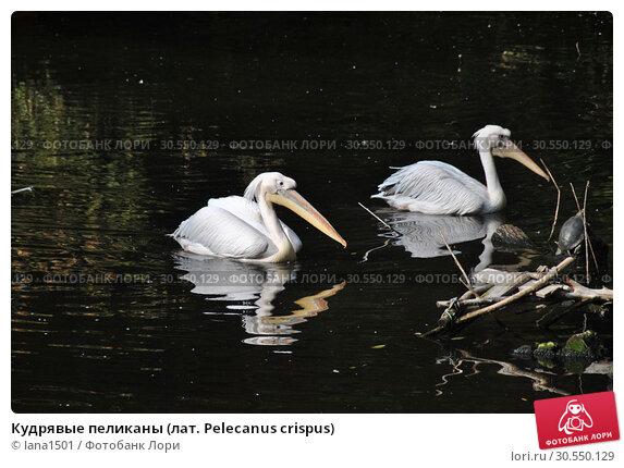 Купить «Кудрявые пеликаны (лат. Pelecanus crispus)», эксклюзивное фото № 30550129, снято 26 сентября 2014 г. (c) lana1501 / Фотобанк Лори