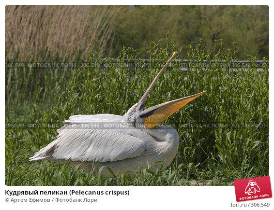 Кудрявый пеликан (Pelecanus crispus), фото № 306549, снято 4 мая 2008 г. (c) Артем Ефимов / Фотобанк Лори