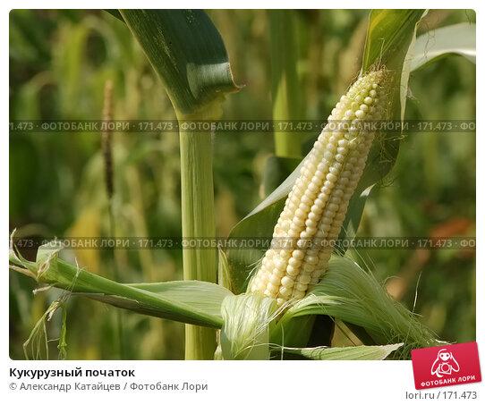 Купить «Кукурузный початок», фото № 171473, снято 19 августа 2007 г. (c) Александр Катайцев / Фотобанк Лори