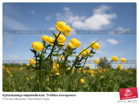 Купить «Купальница европейская. Trollius europaeus», фото № 305273, снято 31 мая 2008 г. (c) Игорь Мошкин / Фотобанк Лори