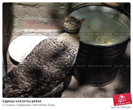 Купить «Курица хохлатка рябая», фото № 183257, снято 8 июля 2005 г. (c) Галина  Горбунова / Фотобанк Лори