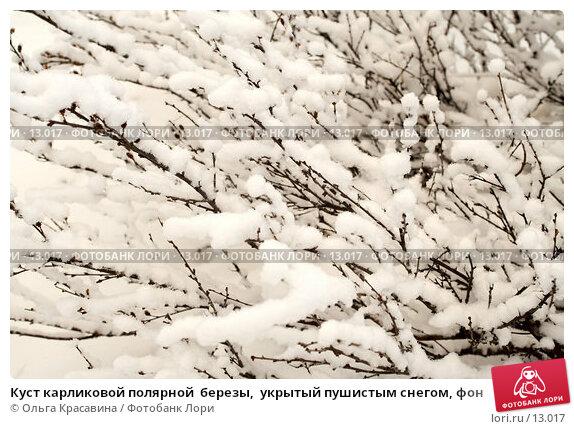 Куст карликовой полярной  березы,  укрытый пушистым снегом, фон, фото № 13017, снято 12 ноября 2006 г. (c) Ольга Красавина / Фотобанк Лори