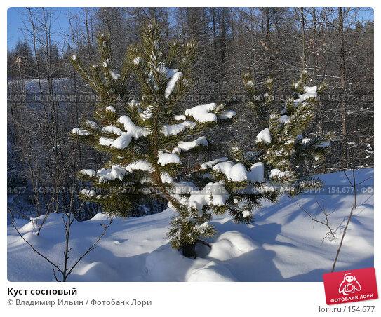 Куст сосновый, фото № 154677, снято 21 ноября 2007 г. (c) Владимир Ильин / Фотобанк Лори