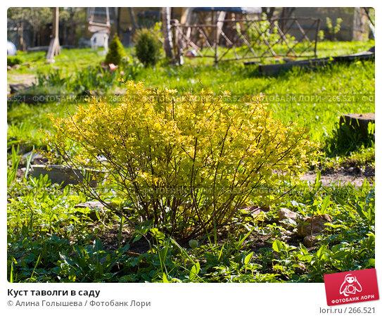 Куст таволги в саду, эксклюзивное фото № 266521, снято 27 апреля 2008 г. (c) Алина Голышева / Фотобанк Лори