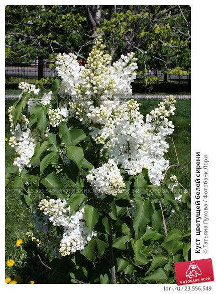 кустарник цветет белым в мае