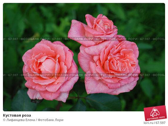 Кустовая роза, фото № 67597, снято 13 июля 2007 г. (c) Лифанцева Елена / Фотобанк Лори