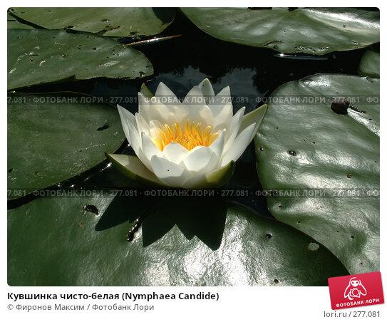 Кувшинка чисто-белая (Nymphaea Candide), фото № 277081, снято 3 июля 2007 г. (c) Фиронов Максим / Фотобанк Лори