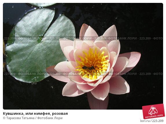 Кувшинка, или нимфея, розовая, фото № 223209, снято 13 июня 2007 г. (c) Тарасова Татьяна / Фотобанк Лори