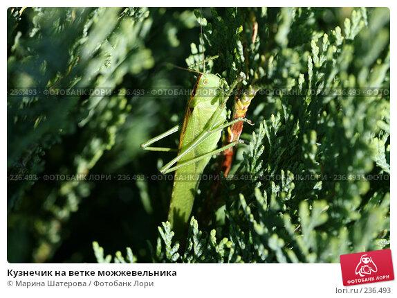 Кузнечик на ветке можжевельника, фото № 236493, снято 16 июля 2007 г. (c) Марина Шатерова / Фотобанк Лори