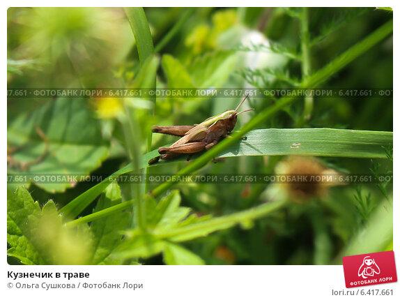 Кузнечик в траве. Стоковое фото, фотограф Ольга Сушкова / Фотобанк Лори