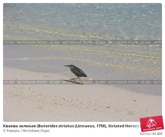 Кваква зеленая (Butorides striatus (Linnaeus, 1758), Striated Heron) на песчаном морском берегу, фото № 43409, снято 11 марта 2005 г. (c) Рамиль / Фотобанк Лори