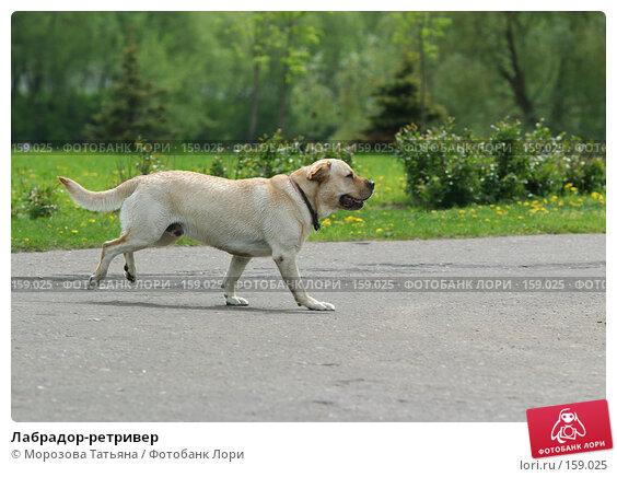 Лабрадор-ретривер, фото № 159025, снято 26 мая 2006 г. (c) Морозова Татьяна / Фотобанк Лори