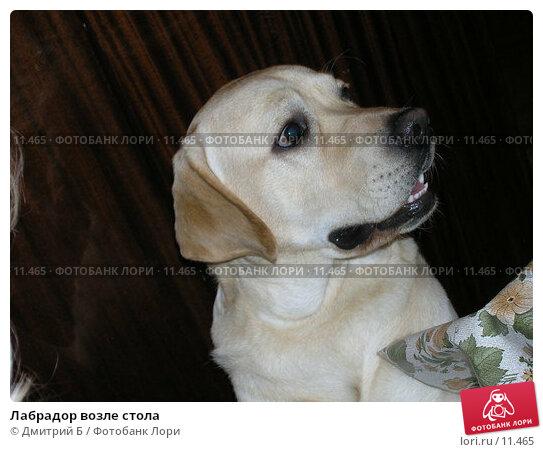 Купить «Лабрадор возле стола», фото № 11465, снято 8 марта 2006 г. (c) Дмитрий Б / Фотобанк Лори