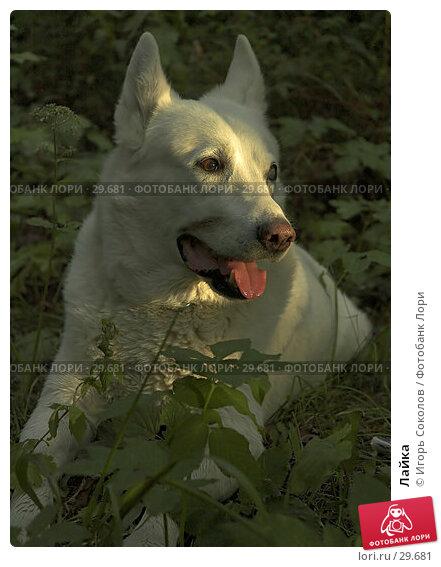 Лайка, фото № 29681, снято 19 августа 2017 г. (c) Игорь Соколов / Фотобанк Лори