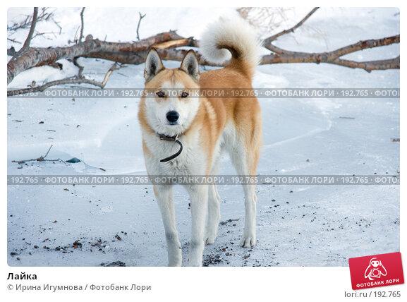 Лайка, фото № 192765, снято 2 декабря 2007 г. (c) Ирина Игумнова / Фотобанк Лори