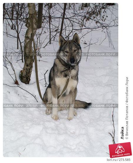 Купить «Лайка», фото № 273585, снято 25 ноября 2007 г. (c) Вячеслав Потапов / Фотобанк Лори