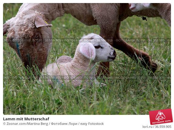 Lamm mit Mutterschaf. Стоковое фото, фотограф Zoonar.com/Martina Berg / easy Fotostock / Фотобанк Лори