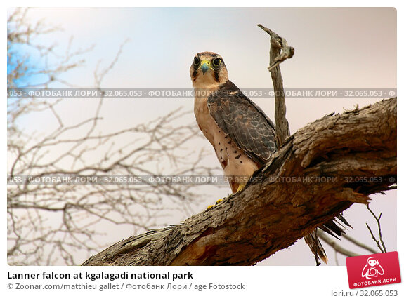Lanner falcon at kgalagadi national park. Стоковое фото, фотограф Zoonar.com/matthieu gallet / age Fotostock / Фотобанк Лори