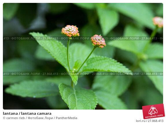 Купить «lantana / lantana camara», фото № 27868413, снято 22 апреля 2019 г. (c) PantherMedia / Фотобанк Лори
