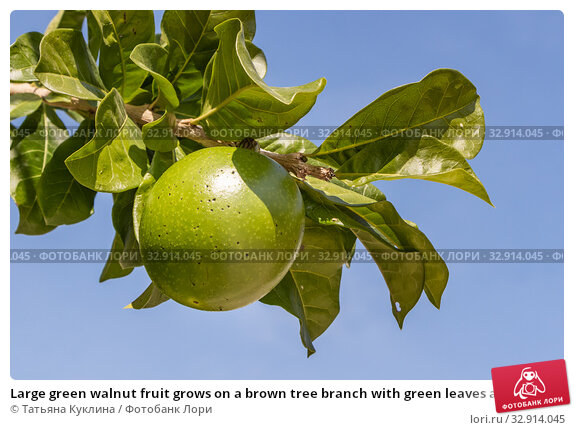 Large green walnut fruit grows on a brown tree branch with green leaves against a blue sky in summer. Стоковое фото, фотограф Татьяна Куклина / Фотобанк Лори