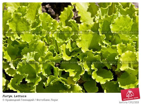 Латук. Lettuce, фото № 312533, снято 6 июля 2005 г. (c) Кравецкий Геннадий / Фотобанк Лори