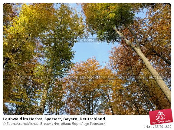 Laubwald im Herbst, Spessart, Bayern, Deutschland. Стоковое фото, фотограф Zoonar.com/Michael Breuer / age Fotostock / Фотобанк Лори