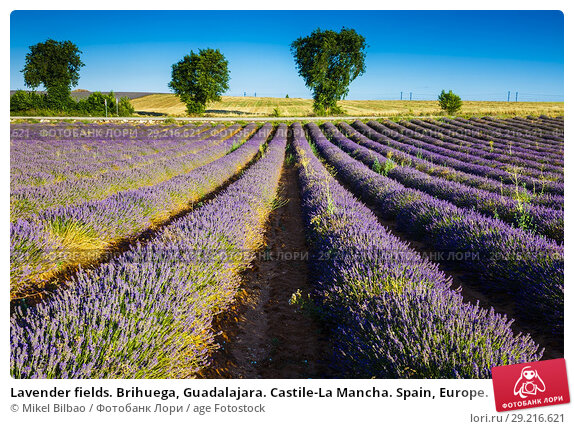 Купить «Lavender fields. Brihuega, Guadalajara. Castile-La Mancha. Spain, Europe.», фото № 29216621, снято 24 июля 2017 г. (c) age Fotostock / Фотобанк Лори